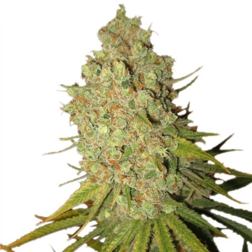 Special Kush #1 - Royal Queen Seeds feminised wietplant top