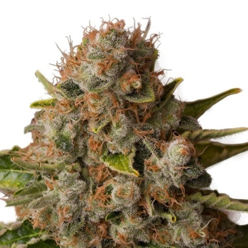 White Widow - Royal Queen Seeds top wietplant oogstrijp