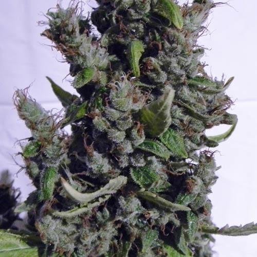 Boulder Bubblegum - Sagarmatha Seeds