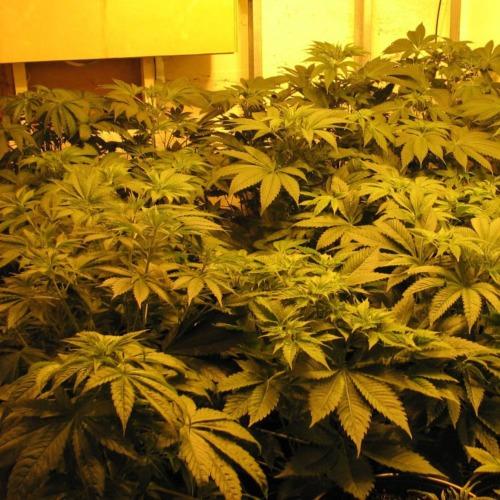 Indica XXL - Sagarmatha Seeds binnenkweek wietplanten