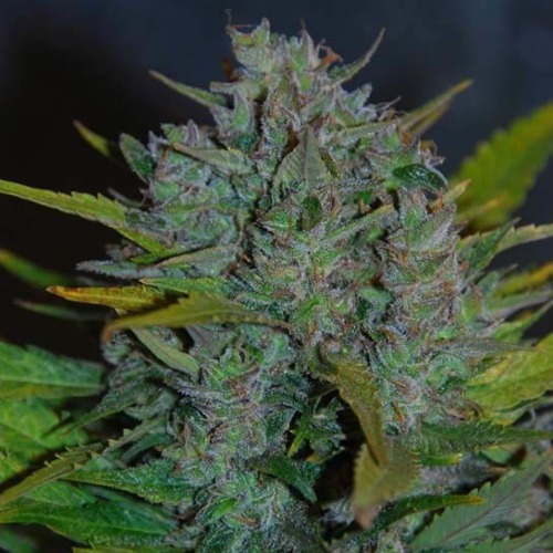 Ultraviolet - Samsara Seeds