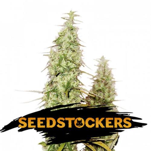 Santa Marta Haze - Seedstockers