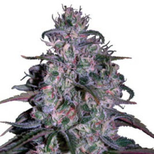 Alakazam - Seedmakers Seeds