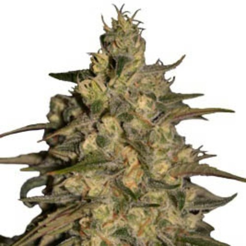Silver Jack - Seedmakers Seeds