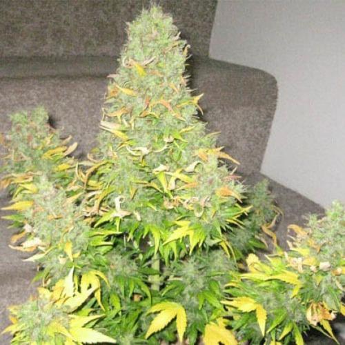 Onyx - Short Stuff wietplant met dikke toppen