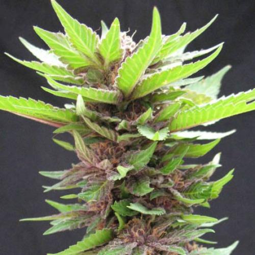 Bizarre - SickMeds Seeds wietplant in bloeiperiode