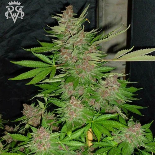 Psycho Crack - SickMeds Seeds cannabi plant during the flowering