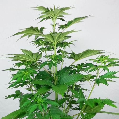 Silver Haze - Cannabis plant private label
