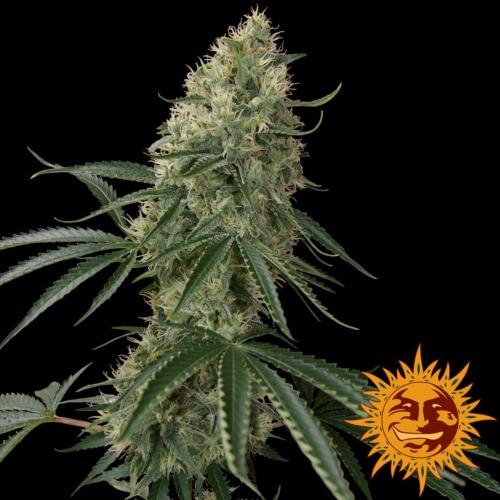 Sin Tra Bajo autoflower - Barney's Farm
