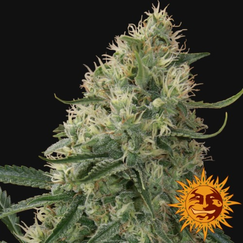 Sin Tra Bajo autoflower close-up - Barney's Farm seed bank