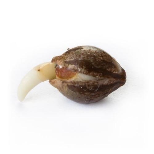 Ontkiemd wietzaadje Skunk XL - Royal Queen Seeds