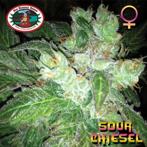 Sour Chiesel - Big Buddha Seeds
