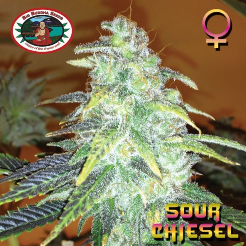 Sour Chiesel wietplant top - Big Buddha Seeds.