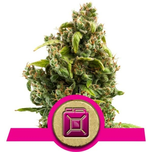 Sour Diesel wietsoort - Royal Queen Seeds