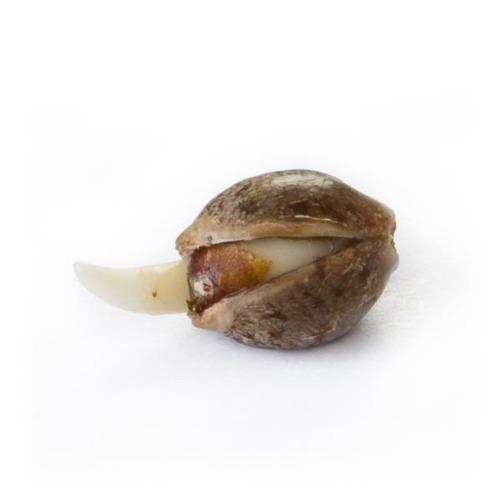 Ontkiemd zaadje Special Kush #1 - Royal Queen Seeds