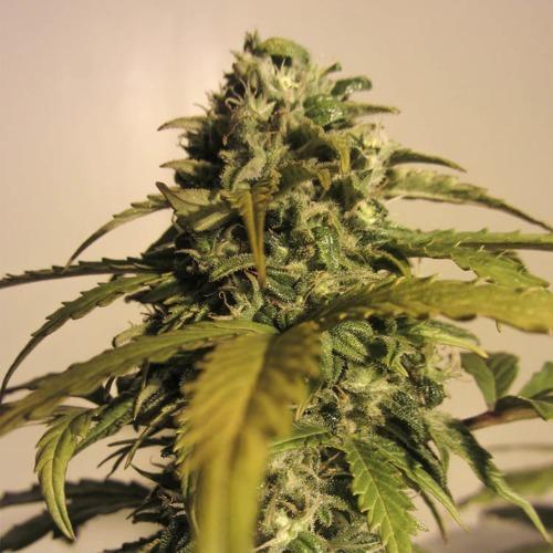 Ak Automatic - Spliff Seeds wietplant top in bloei