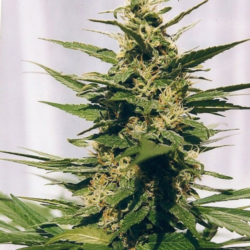 Polm Gold Outdoor - Spliff Seeds