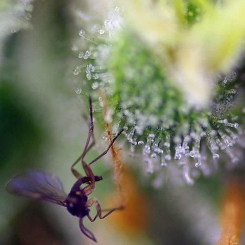 Sweet Amnesia Haze XL Auto - Sweet Seeds close-up trichomen