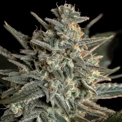Sweet Bilbo - Genehtik Seeds - Close-up top