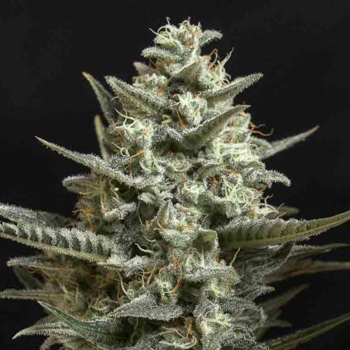Sweet Bilbo - Genehtik Seeds