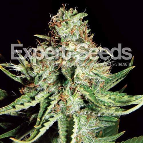 Sweet Cream Auto - Expert Seeds