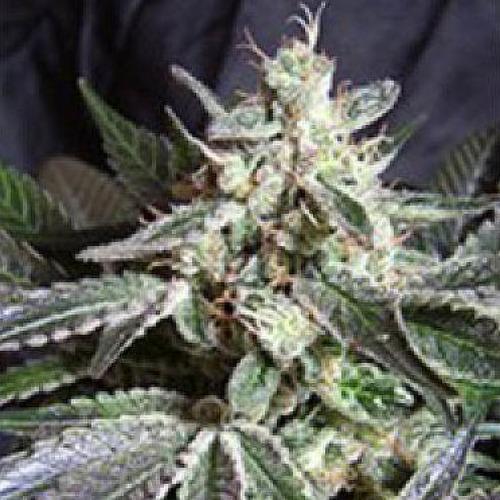 Black Jack Fast V - Sweet Seeds