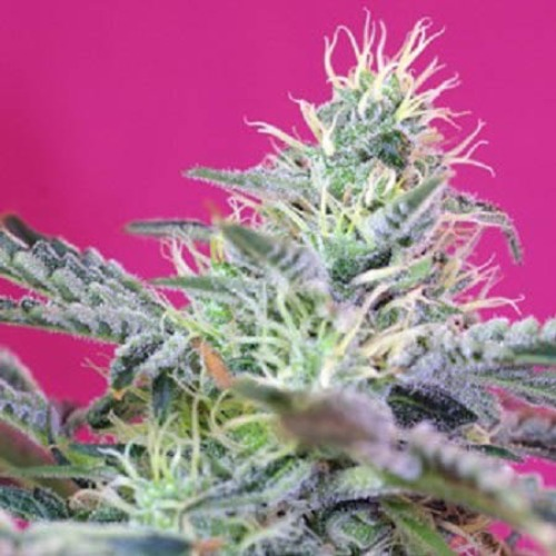 Sweet Cheese Fast V - Sweet Seeds