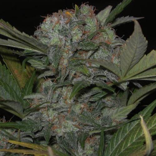 Fast Bud  #2 Auto - Sweet Seeds