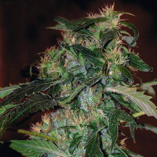 Jack 47 F1 Fast V - Sweet Seeds