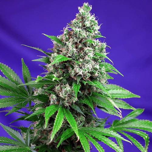 Killer Kush Fast V - Sweet Seeds