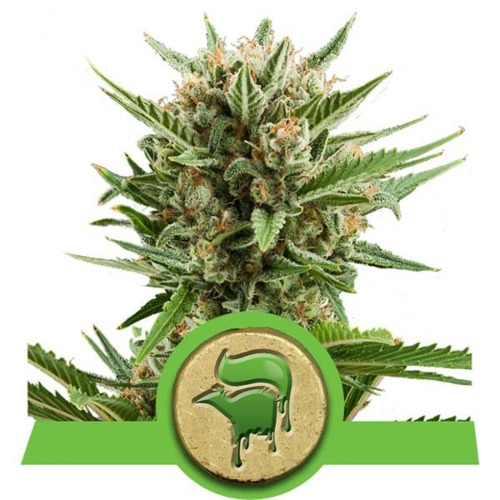 Sweet Skunk Automatic strain - Royal Queen Seeds