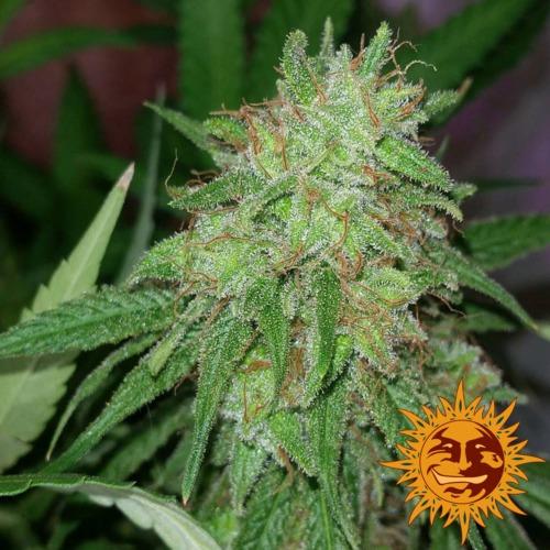Tangerine Dream cannabis plant van Barney's Farm