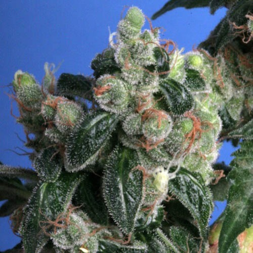 Kushage - THSeeds wiettop vol THC