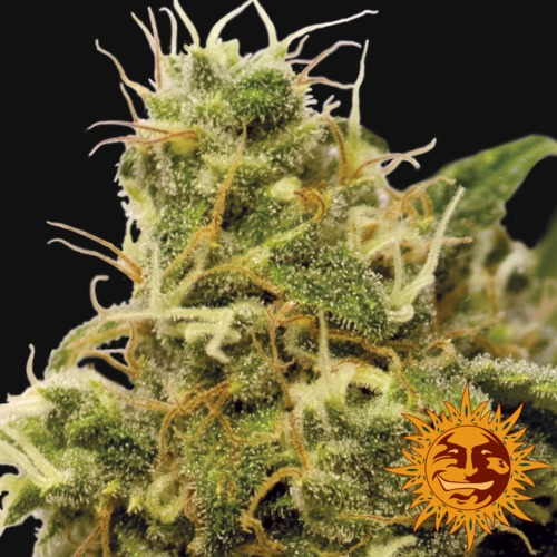 Utopia Haze close-up - Barney's Farm seed bank