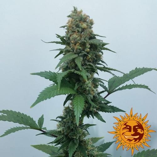 Vanilla Kush cannabis plant - Barney's Farm