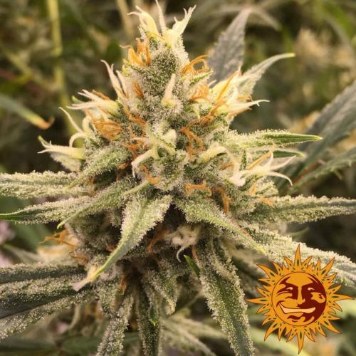 Vanilla Kush bud - Barney's Farm seed bank