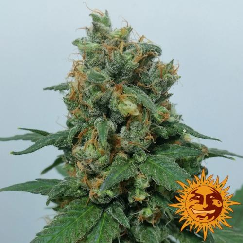 Vanilla Kush strain van Barney's Farm