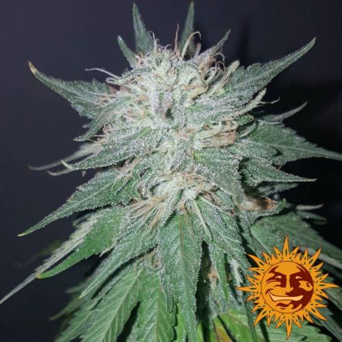 Violator Kush wietplant - Barney's Farm zaadbank