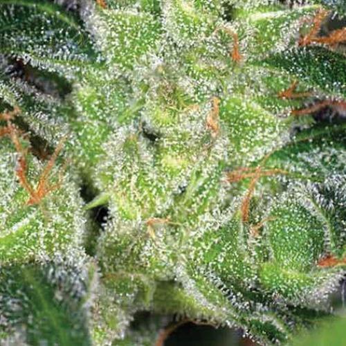 Gouda Grass - Vision Seeds