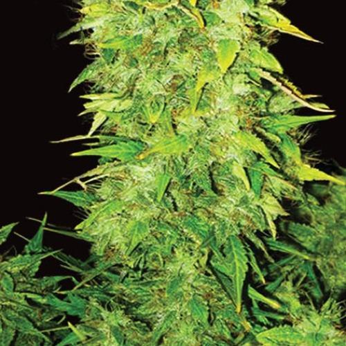 White Widow Auto - Vision Seeds autoflower