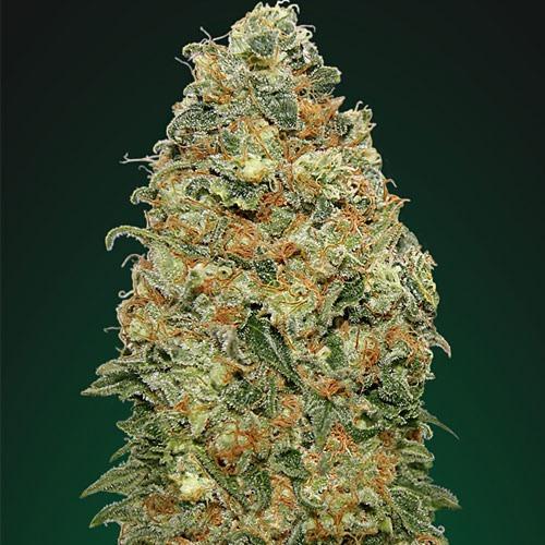 White Widow - 00 Seeds