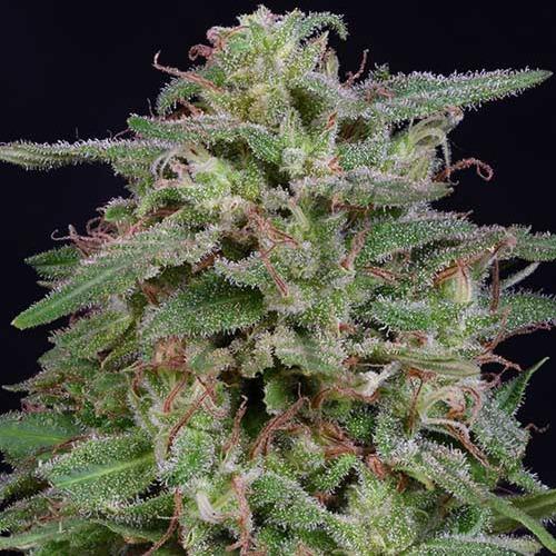 White Widow - Big Head Seeds