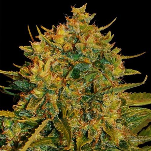 Northern Lights x Big Bud Ryder - World of Seeds