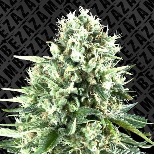 Super Silver Haze Auto - Zambeza Seeds