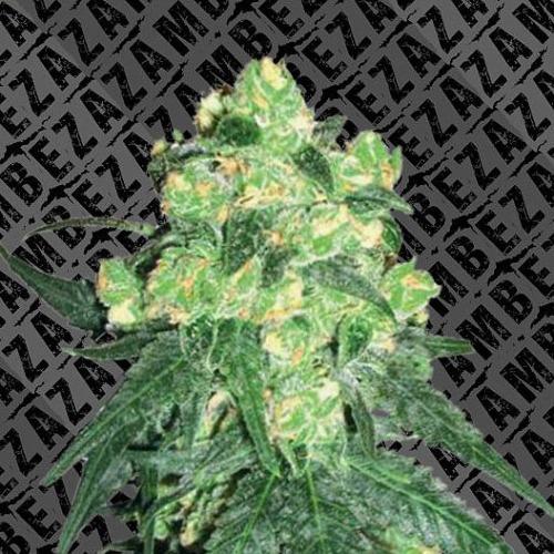 White Widow XL Auto - Zambeza Seeds