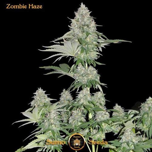 Zombie Haze - Sumo Seeds