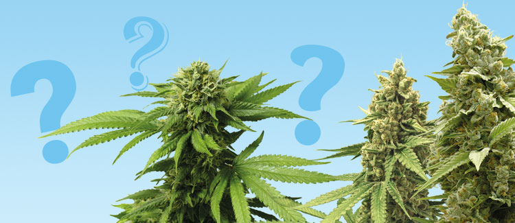 Wat is een autoflowering soort?