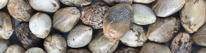Close-up autoflowering zaden
