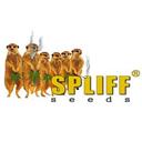 Spliff Seeds cannabis seeds