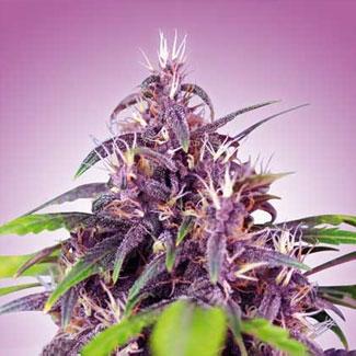 Een bloeiende purple haze